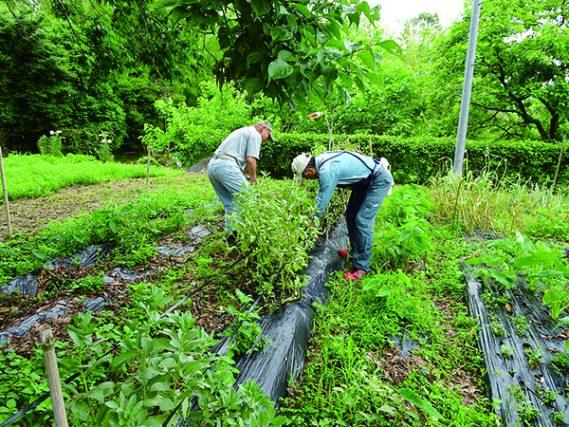 野菜収穫(差し替え写真)